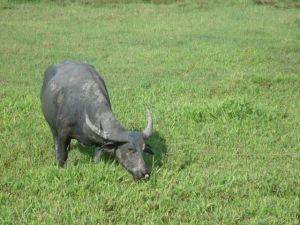 Water buffalo, Langkawi, Malaysia Charlie Speller Forrest Yoga London blog post